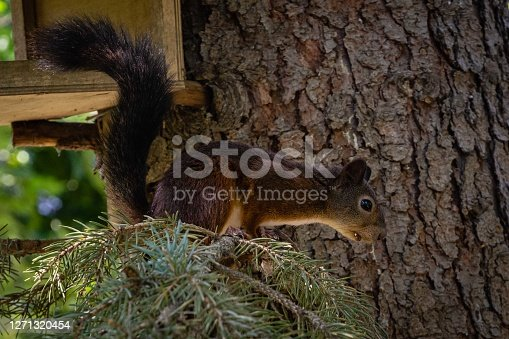 Ginger squirrel with beautiful dark tail. Squirrel sits on branch of blue Christmas tree. Blurred background of greenery garden. Selective focus. Evergreen landscaped garde