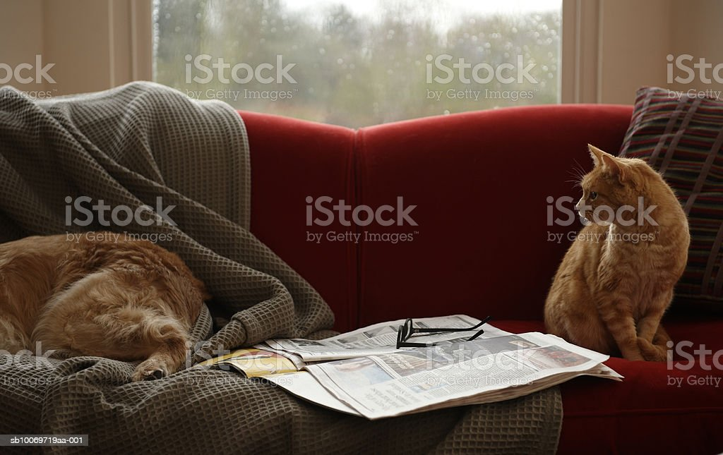 Ginger tabby cat looking at golden retriever sleeping on sofa royalty free stockfoto