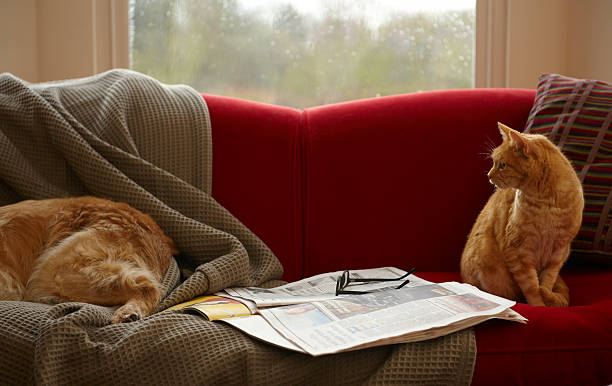 Ginger tabby cat looking at golden retriever sleeping on sofa stock photo