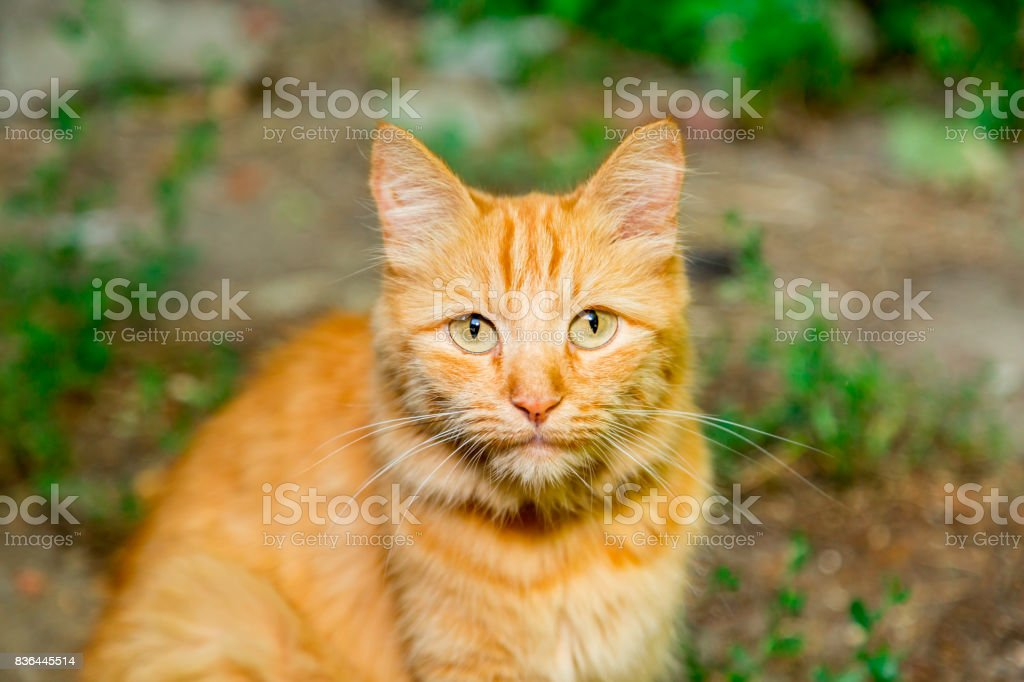 Ginger tabby cat looking at the camera. Close-up stock photo