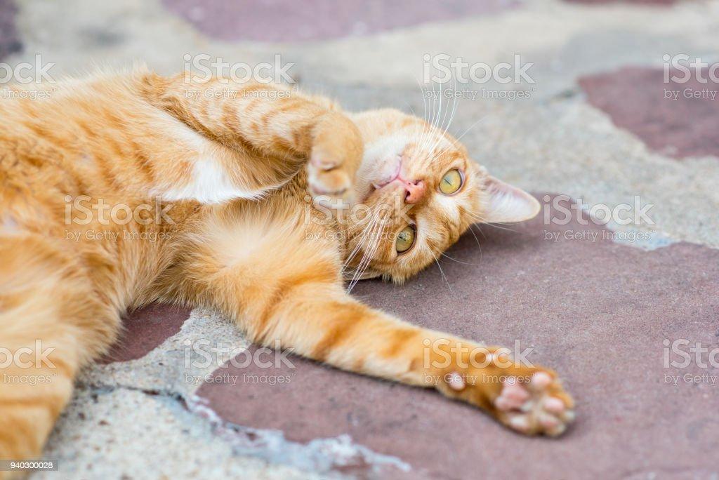 Ginger Getigerte Katze cat – Foto
