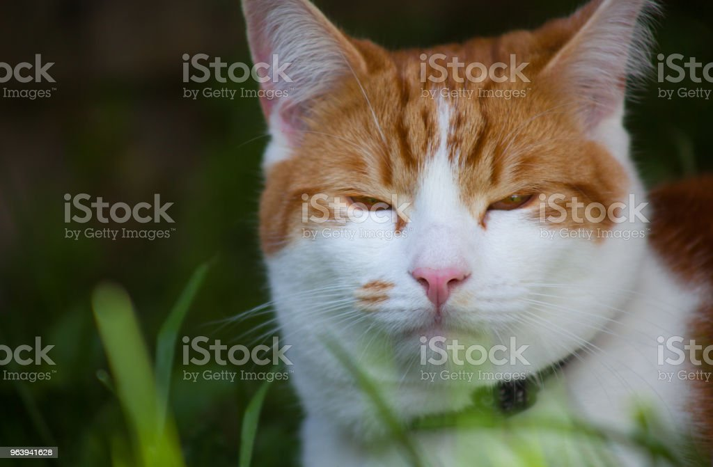 Ginger Tabby Cat - Royalty-free Animal Stock Photo