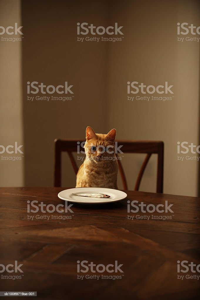 Ginger tabby cat sitting at dining table with fish in plate royalty-free stock photo