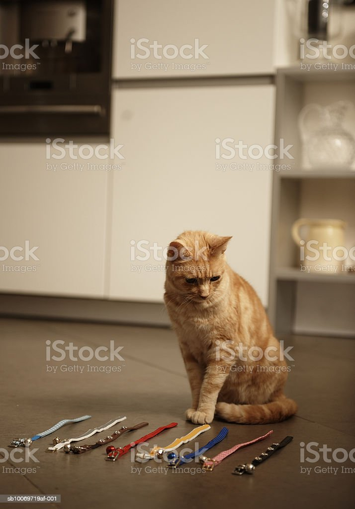 Ginger tabby cat sitting on floor looking at collars royalty-free stock photo