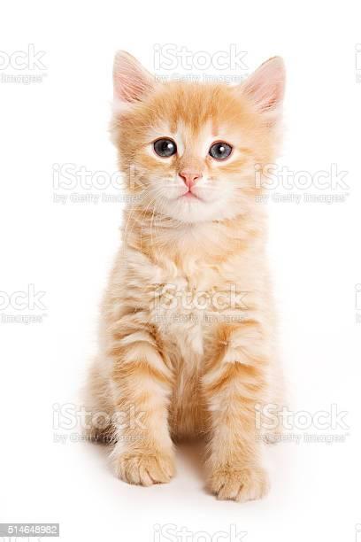 Ginger tabby kitten looking at the camera picture id514648982?b=1&k=6&m=514648982&s=612x612&h=9nsp1f8m3ffgncigt nitwx2meltrr3kqsgtei2yske=