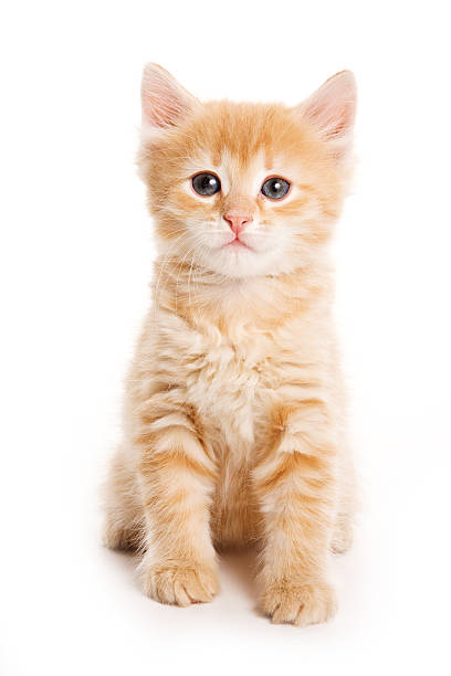 Ginger tabby kitten looking at the camera picture id514648982?b=1&k=6&m=514648982&s=612x612&w=0&h=boivlvyxpnbvic2q7nljetcvczo3elwgfo6qkmm 1kq=