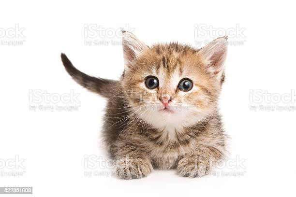 Ginger tabby kitten looking at the camera picture id522851608?b=1&k=6&m=522851608&s=612x612&h=fiq7ldxlt moex4br3mt7ncdsgehmorznbkr xdmh8m=