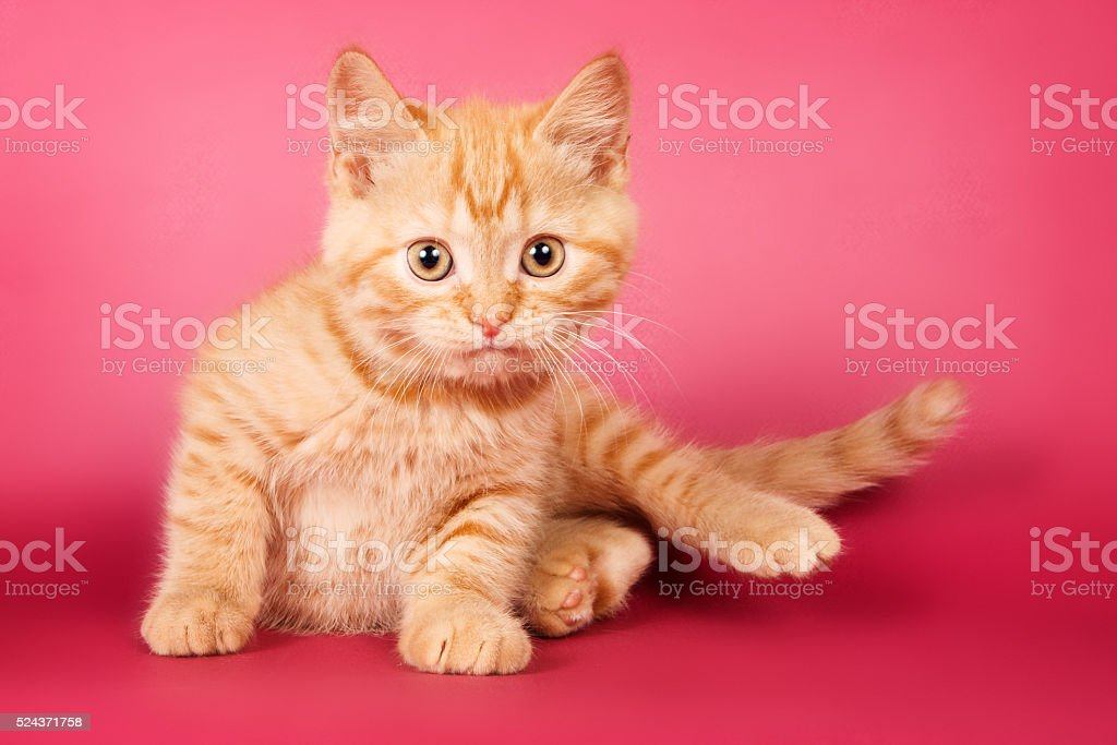 Ginger tabby kitten on a red background stock photo