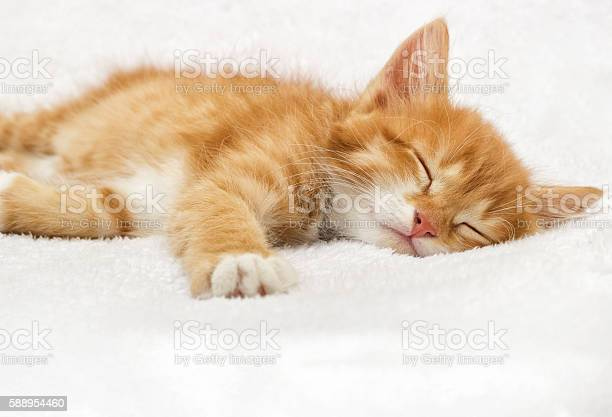 Ginger tabby kitten sleeping on a fluffy blanket picture id588954460?b=1&k=6&m=588954460&s=612x612&h=zvr2mj046cvf5b6pnzxezeay3e0hnh3bjcrxzevzvnm=