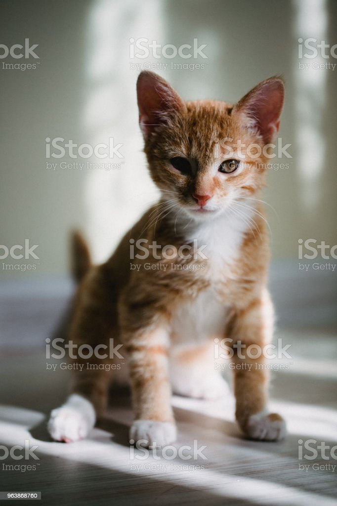 ginger three color cat is sitting on bed and looking in camera. Warm toning image. Lifestyle pet concept - Royalty-free Animal Stock Photo