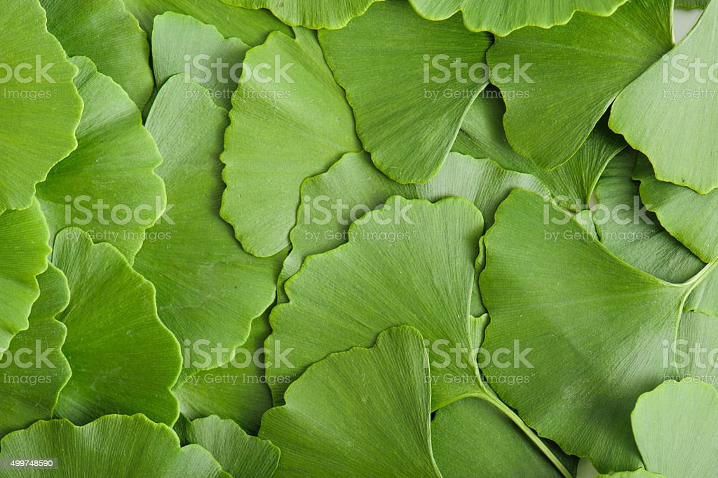 Gingko Background stock photo