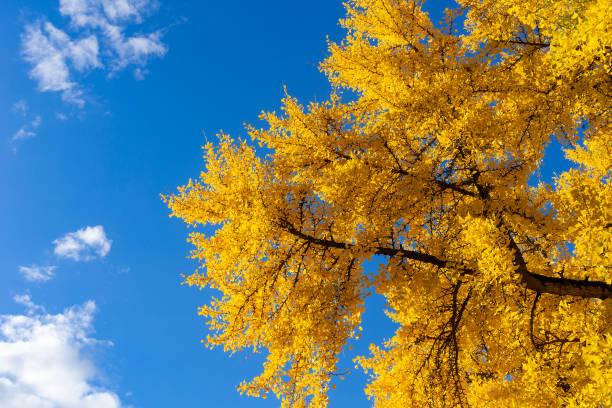 Ginkgo Biloba Baum mit gelben Laub – Foto