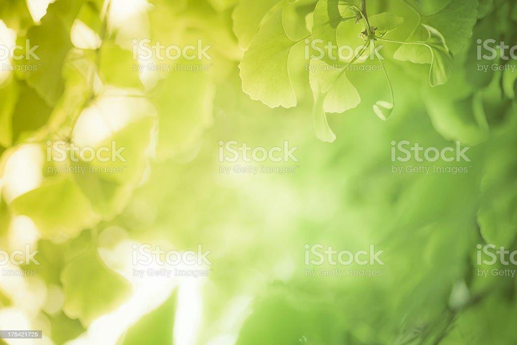 gingko leaf royalty-free stock photo