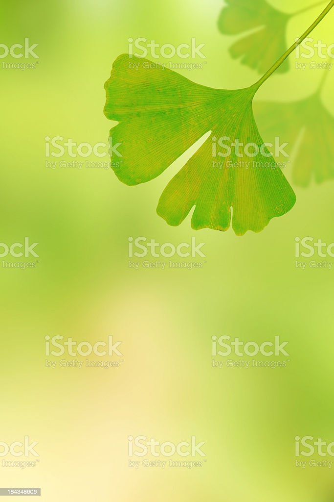 Gingko leafs on natural green background royalty-free stock photo