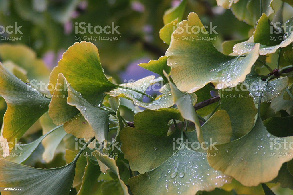 Gingko Leaves in the Rain stock photo