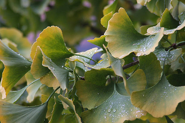 Gingko Leaves in the Rain stock photo