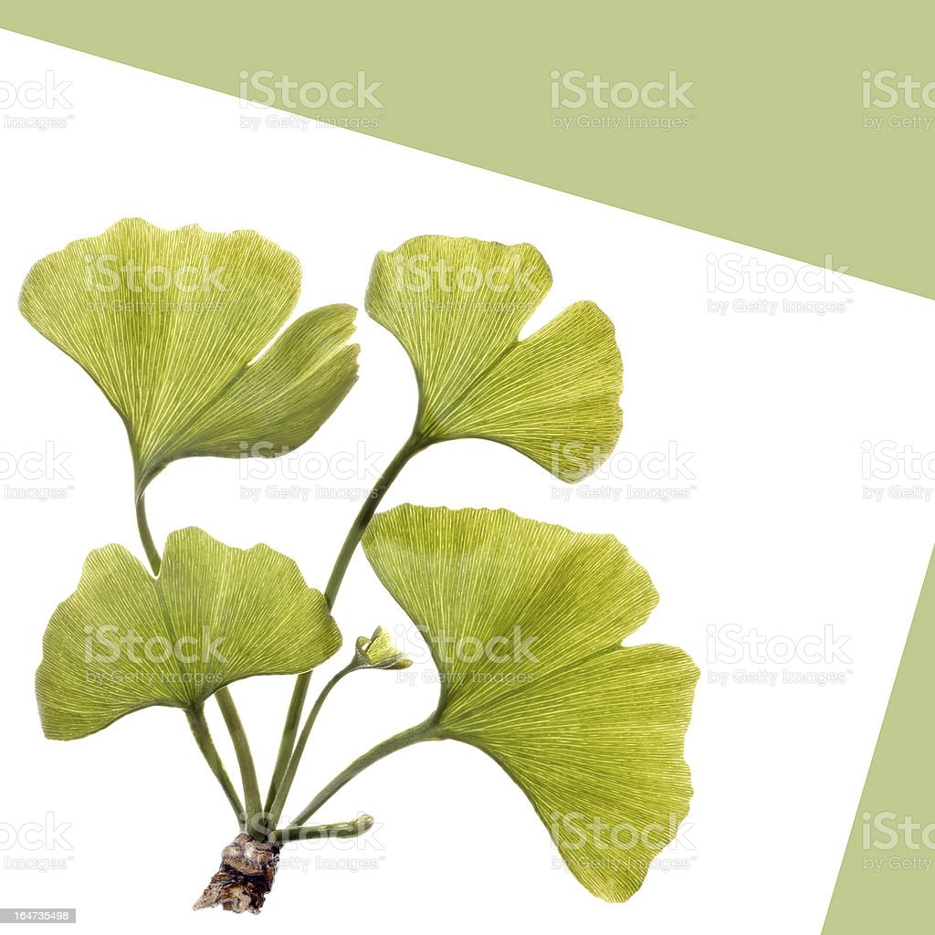 Gingko leaves isolated on white royalty-free stock photo