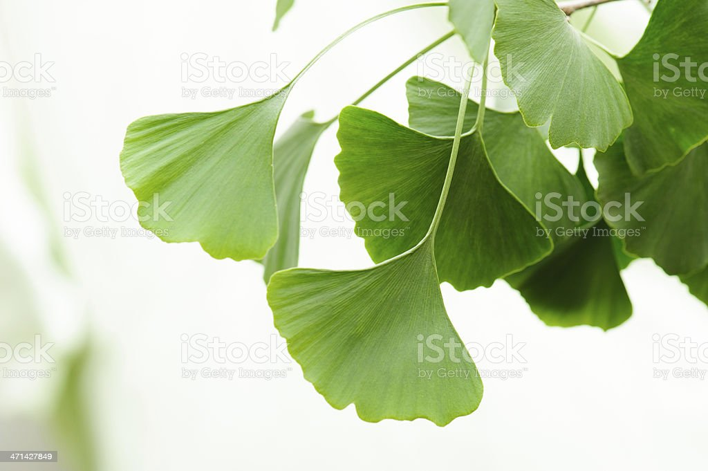 Gingko leaves stock photo
