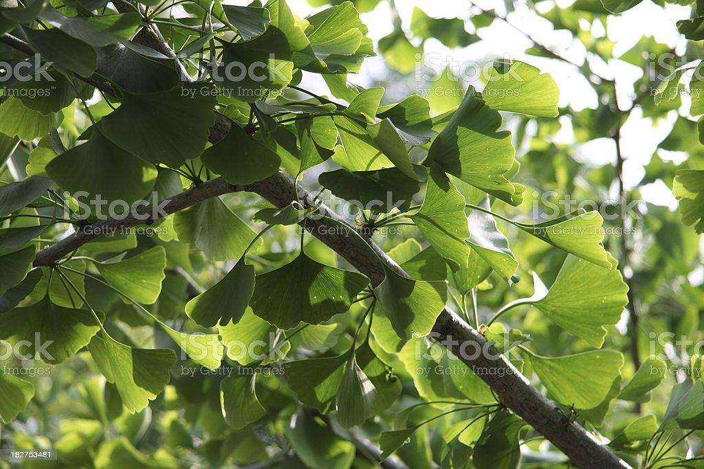 gingko tree royalty-free stock photo