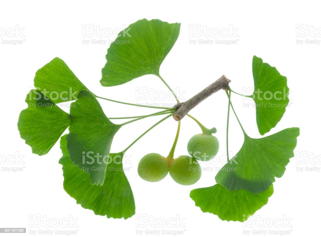 ginkgo as medicinal plant for alternative medicine stock photo
