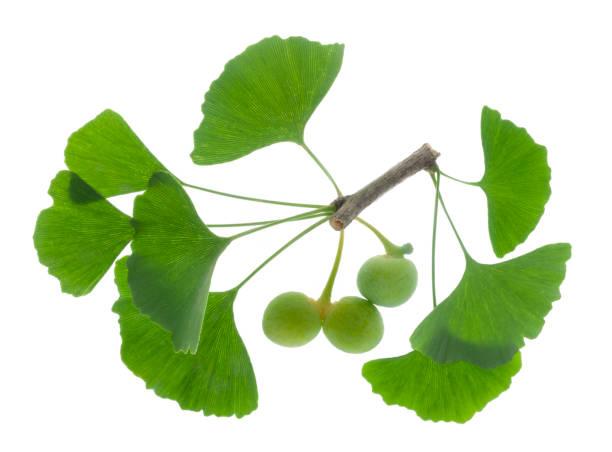 ginkgo als heilpflanze für alternative medizin - ginkgo stock-fotos und bilder