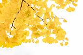 イチョウが黄色になり始めた