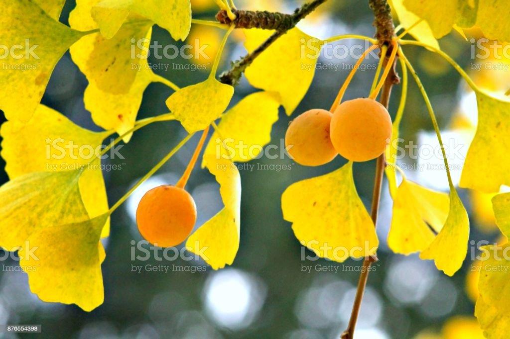Ginkgo bilboa fruits on a branch. stock photo