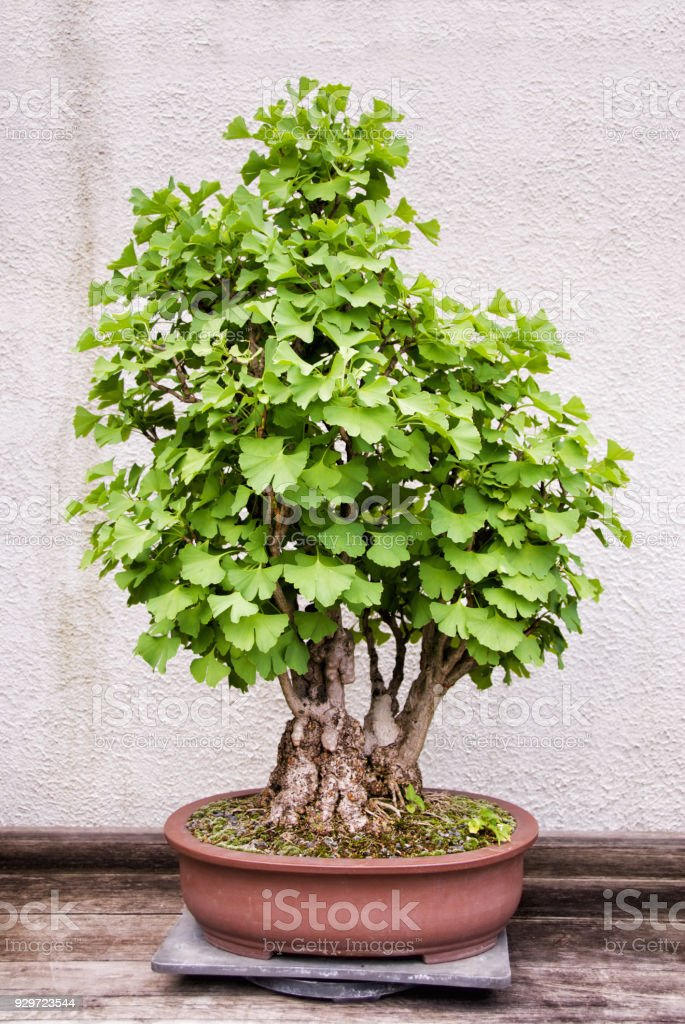 Ginkgo Biloba Bonsai Tree Growing In A Container Stock Photo More