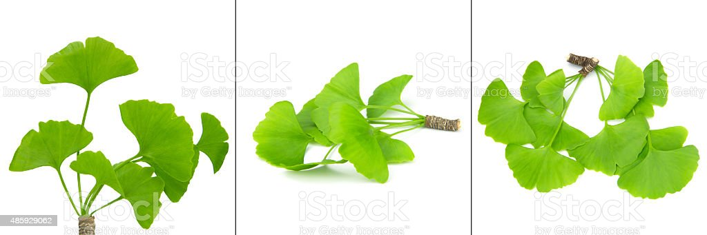 ginkgo biloba leaf collection stock photo
