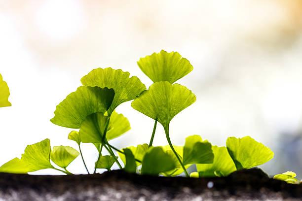 ginkgo biloba leaf outside - ginkgo stock-fotos und bilder