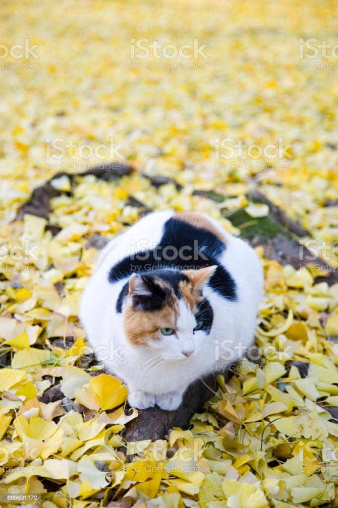 Ginkgo biloba leaves and cat foto stock royalty-free