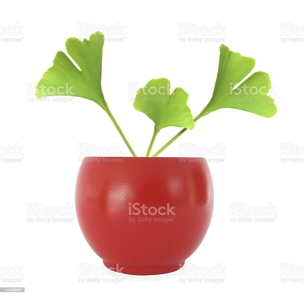 Ginkgo biloba leaves in red oval flowerpot stock photo