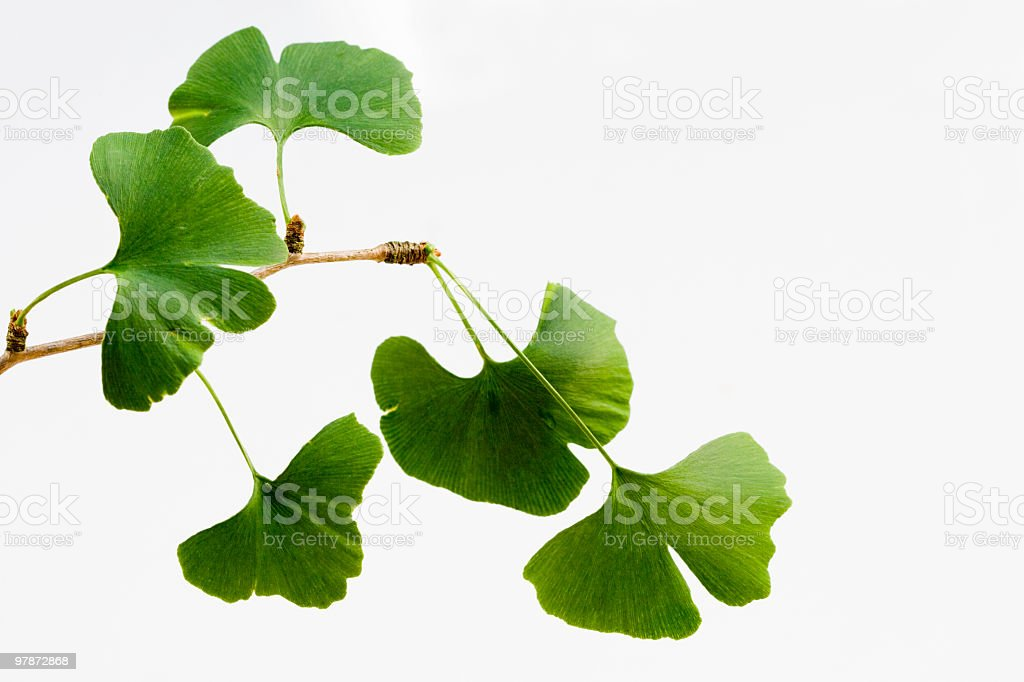 Ginkgo biloba leaves isolated on white (XXL) royalty-free stock photo