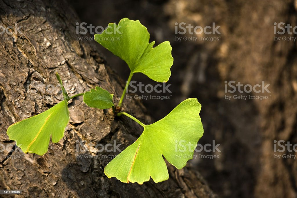 Ginkgo biloba leaves on tree trunk royalty-free stock photo