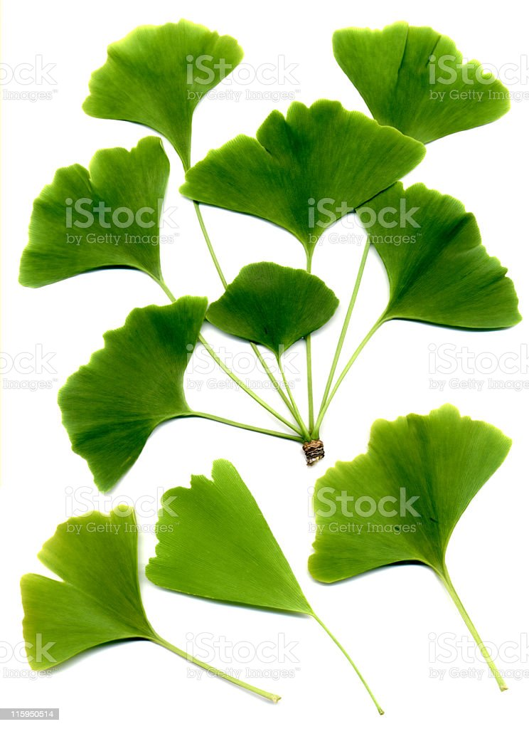 Ginkgo biloba leaves stock photo