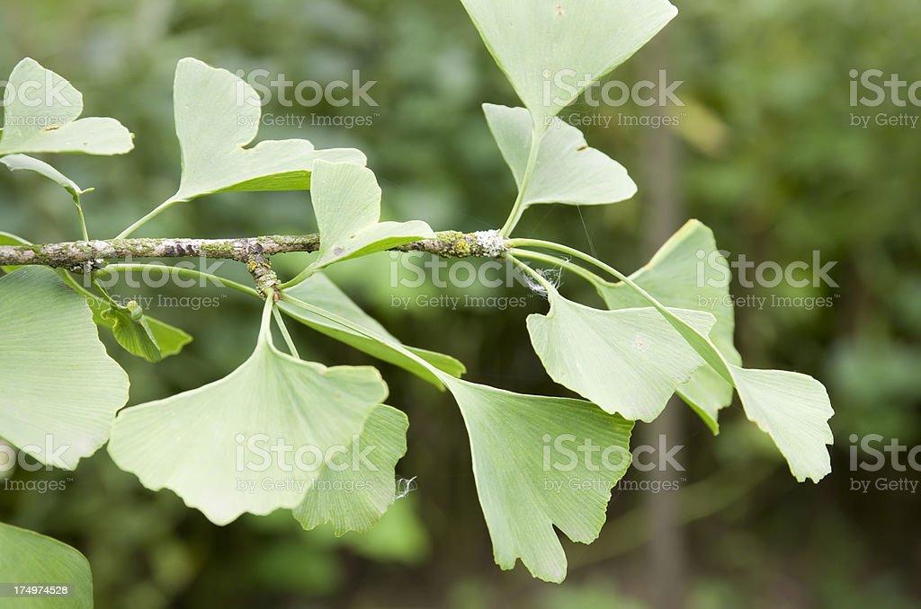 Ginkgo biloba Leaves royalty-free stock photo