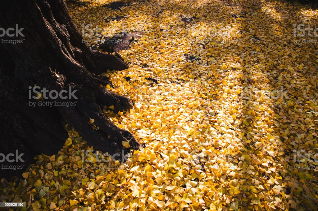 Ginkgo biloba leaves foto stock royalty-free
