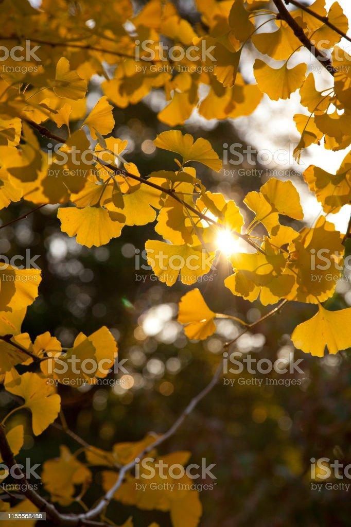 Ginkgo Biloba Leaves Turning Golden Yellow In Autumn Stock Photo