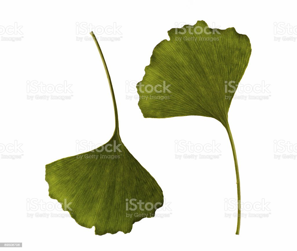 ginkgo biloba. one leaf - two sides royalty-free stock photo