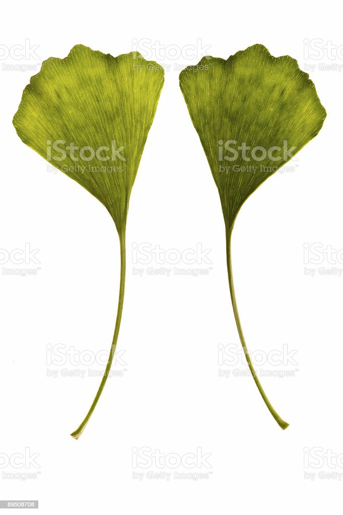 ginkgo biloba. one leaf - two sides royalty-free stock photo