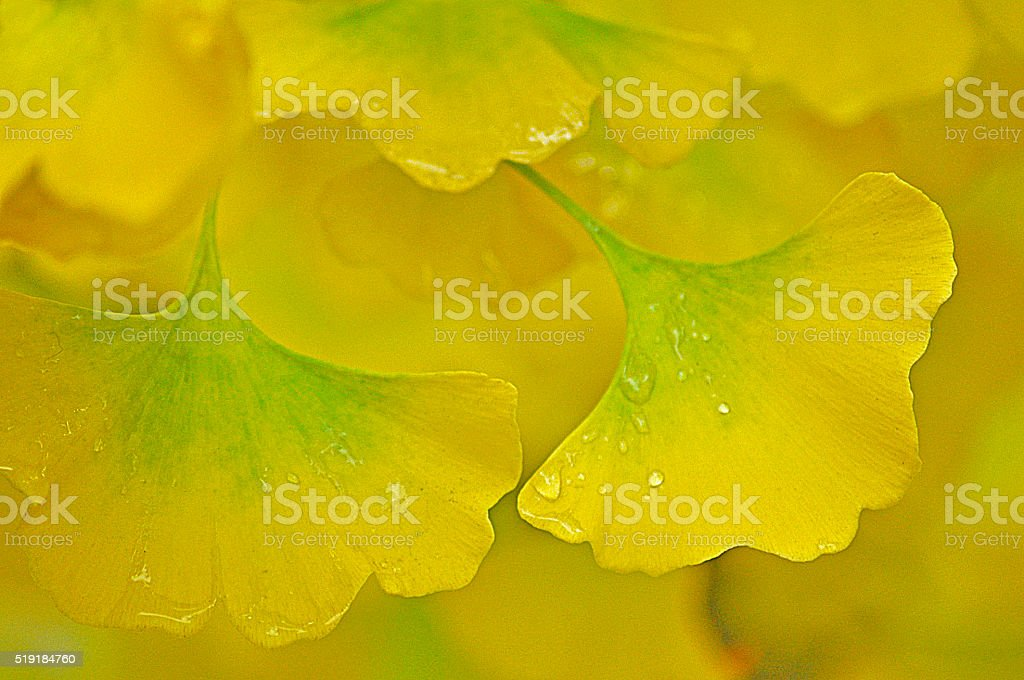 Ginkgo biloba stock photo