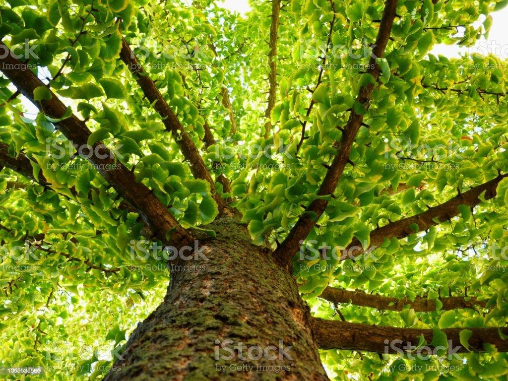 ginkgo biloba tree in diminishing perspective in the fall ginkgo biloba tree in diminishing perspective in the fall with green leaves, slowly turning yellow Autumn Stock Photo