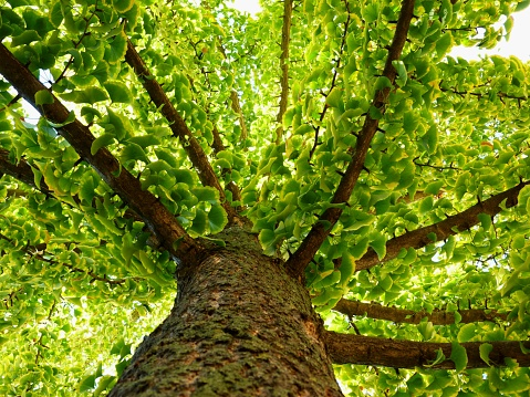 ginkgo biloba tree in diminishing perspective in the fall