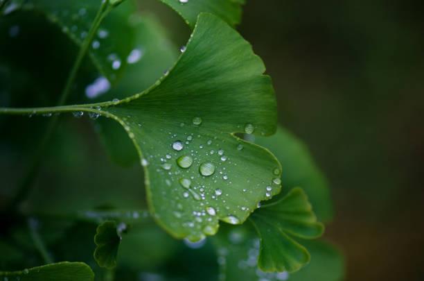 ginkgo biloba baum blätter mit einem wassertropfen. detail aus grünen blättern mit tropfen. grünen hintergrund. natürliche medizin. - ginkgo stock-fotos und bilder