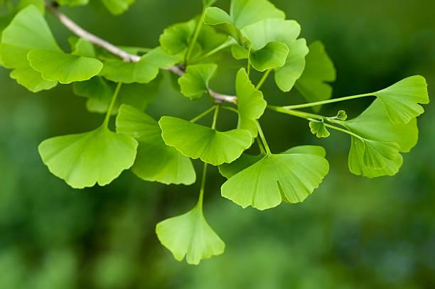 ginkgo biloba tree - ginkgo stock-fotos und bilder