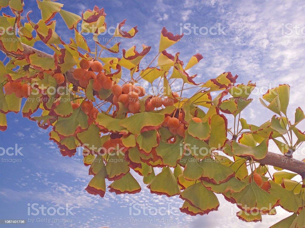 イチョウの木と種子 ストックフォト