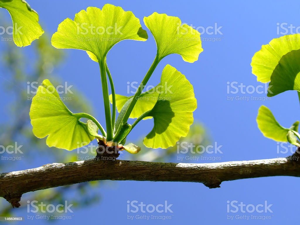 Ginkgo Bologna leaves on a sunny day stock photo