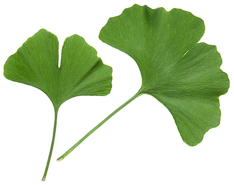 Ginkgo leaf isolated. Gingko tree plant green leaves isolated on white background, close-up