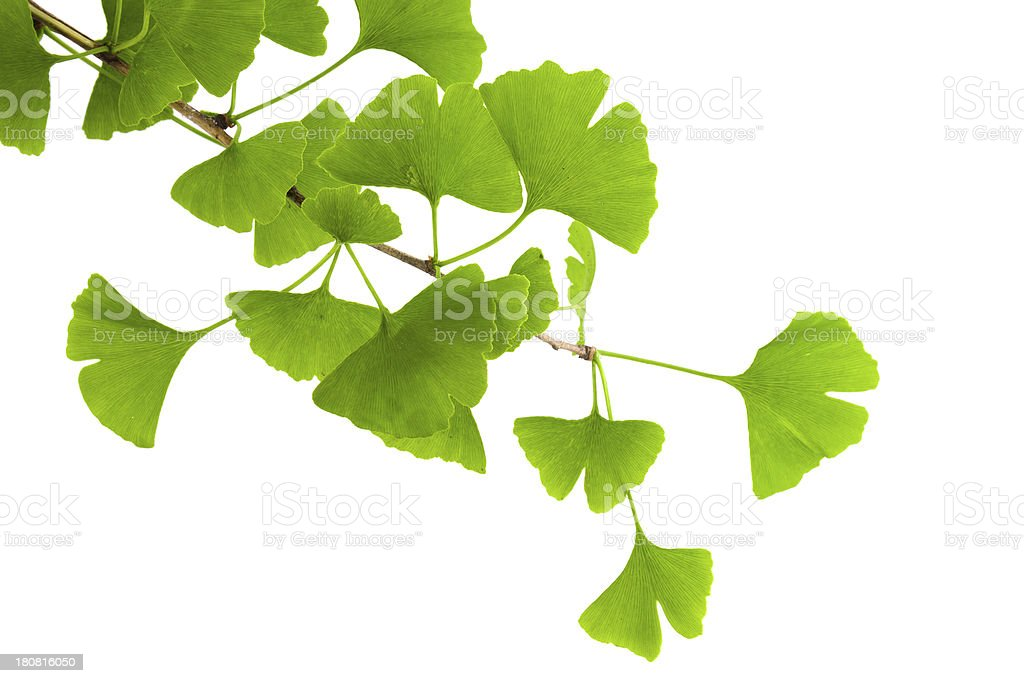 ginkgo leaf isolated on white background stock photo