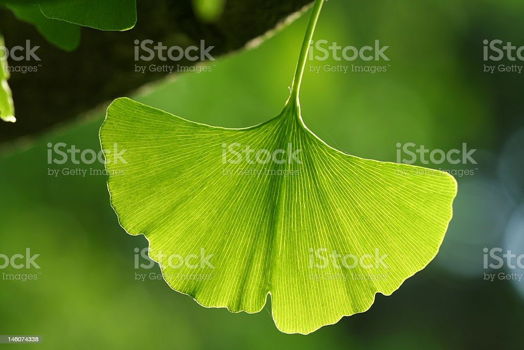 Ginkgo Leaf - Royalty-free Antioxidant Stock Photo